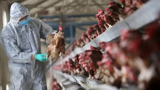بعد غزوه اليابان وكوريا الجنوبية.. السلطات المغربية تحذر من إنفلونزا الطيور